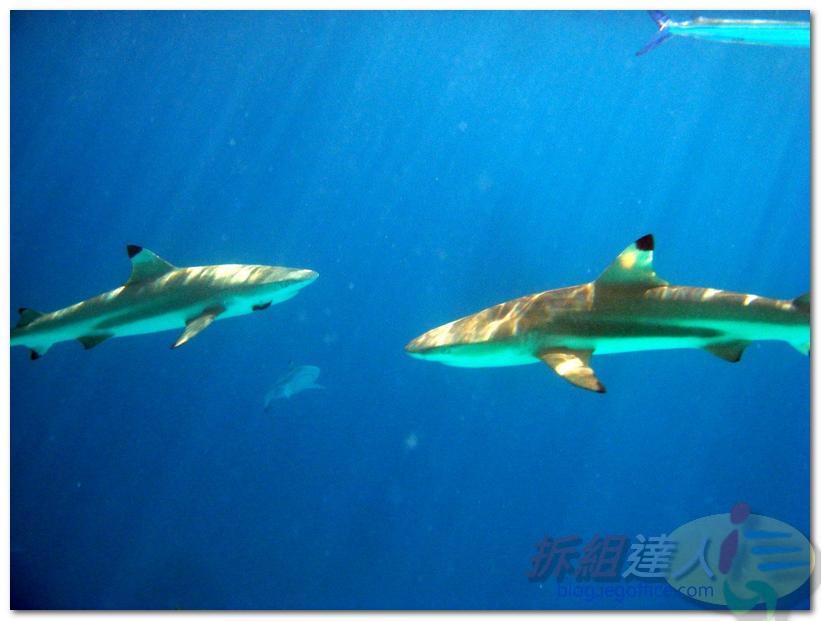 帛琉無人島海鮮彩繪團-Day3-與鯊共舞